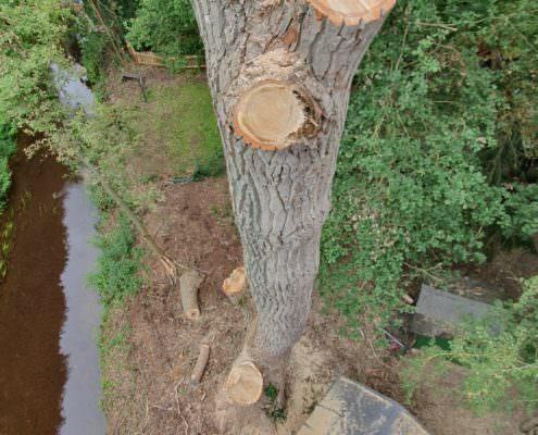Baumfällung einer Pappel